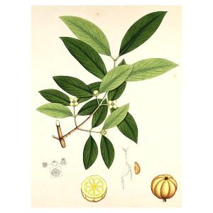 garcinia-cambogia-1000mg planta